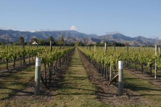 Anchorage Wines' vineyard in Riwaka